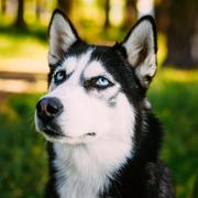Young Happy Husky Eskimo Dog Sitting In Grass Outdoor - stock photo