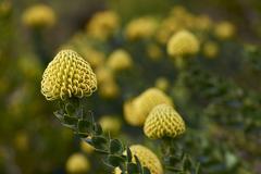 Yellow Protea Flowers - stock photo