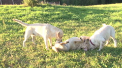 Dogs have fun playing outdoors Stock Footage