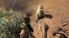 Cape ground squirrels (Xerus inauris) at burrow entrance. Stock Footage