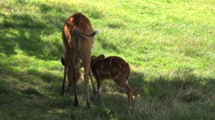 Young Deer sucks milk from his mother. Stock Footage