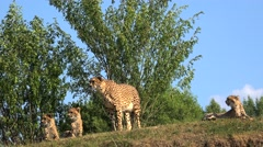 Family of cheetah (Acinonyx jubatus). Stock Footage