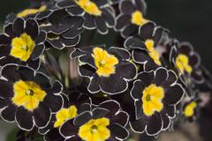 Detail of black Primrose Stock Photos