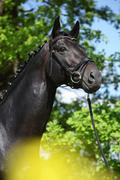 Amazing black dutch warmblood with yellow flowers Stock Photos