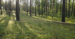 Pine forest in warm summer day, slide movement Stock Footage