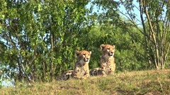 Cheetah cubs  (Acinonyx jubatus). Stock Footage