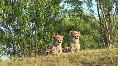 Cheetah cubs  (Acinonyx jubatus). - stock footage