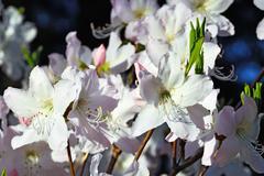 Beautiful flower rhododendron closeup Stock Photos