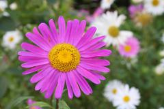 Violet marguerite - stock photo