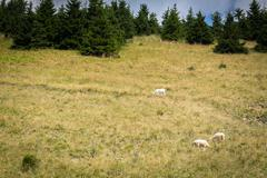 Flock of sheep on mountain pastures Stock Photos