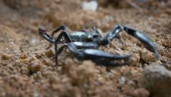 Close-up view of venomous spider Giant Asian Forest Scorpion walks near camera Stock Footage