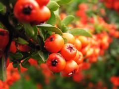 Ripe red rowan berries Stock Photos