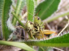 Two grasshoppers - stock photo