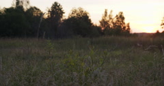 Wild herb grass on rural field in sunset Stock Footage