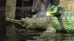 Group of gharials (Gavialis gangeticus). - stock footage