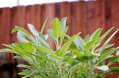 Sage plant in the garden Stock Photos