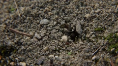 Red Ant Placing a Grain of Sand - stock footage