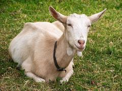 Goat - stock photo