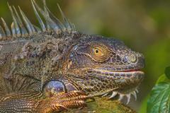 Close-up of a Green Iguana, Reptile - stock photo