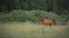 Chestnut stallion - stock footage