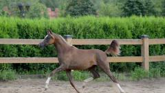 Arabian horse Stock Footage