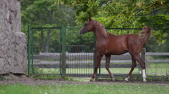 Young 1 year old arab foal Stock Footage