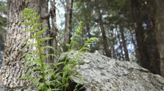 Ferns by a Rock in the Woods - stock footage