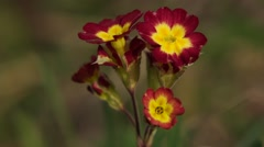 Red and Yellow Prim Rose Stock Footage