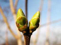Spring bud - stock photo