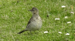 A rock pipit stands on the lawn, is alert and looks around Stock Footage