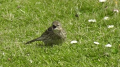 A rock pipit on a lawn shows aggression Stock Footage