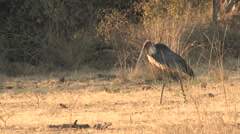 Stork in the South Luangwa National Park, ZAMBIA Stock Footage
