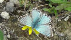 Male Chalkhill blue butterfly feeds on a yellow flower which blows in the wind Stock Footage