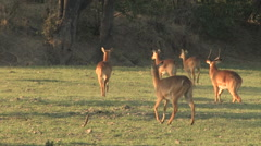 Antelope in the South Luangwa National Park Stock Footage