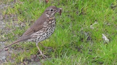 Mistle Trush stands on the lawn with worms in the beak, looks around and chirps Arkistovideo