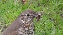 Close-up of a mistle thrush which chirps with worms in the beak Stock Footage