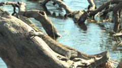 Komodo Dragon in the Chobe National Park BOTSWANA Stock Footage
