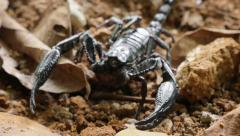 Close up detailed view of Black Asian Scorpion walks on ground in Thailand Stock Footage