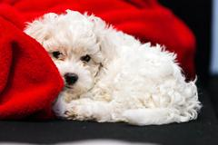 Bichon frise puppy Stock Photos