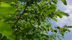 The branches of a large mulberry tree against the blue summer sky. - stock footage