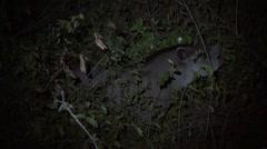 Brazilian Tapir feeding in the night in Pantanal in Brazil 1 Stock Footage