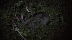 Brazilian Tapir feeding in the night in Pantanal in Brazil 2 Stock Footage