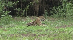 Jaguar female with playful babies in Pantanal in Brazil 10 Stock Footage