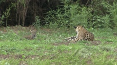 Jaguar female with playful babies in Pantanal in Brazil 1 Stock Footage