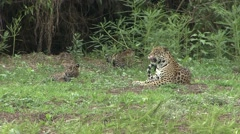 Jaguar female with playful babies in Pantanal in Brazil 2 Stock Footage