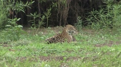 Jaguar female with playful babies in Pantanal in Brazil 3 Stock Footage