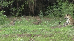 Jaguar female with playful babies in Pantanal in Brazil 5 Stock Footage