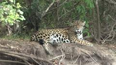 Jaguar male resting on the river bank filmed from boat in Pantanal in Brazil Stock Footage