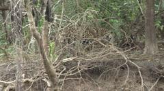 Jaguar male walking on the river bank filmed from boat in Pantanal in Brazil Stock Footage