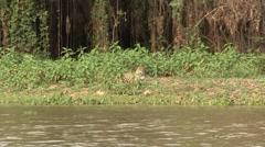 Jaguar resting on the river bank filmed from boat in Pantanal in Brazil 2 Stock Footage